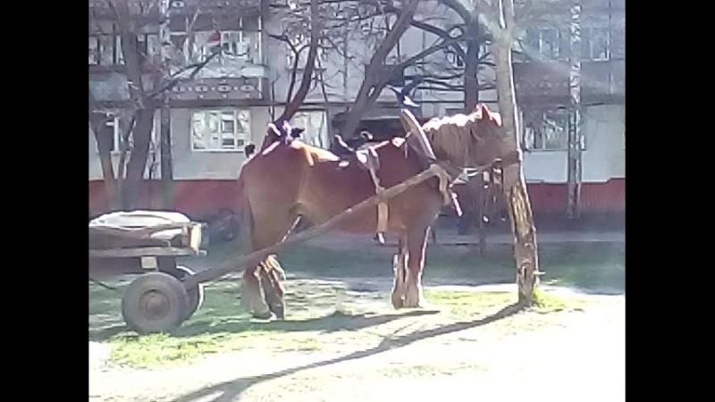 Такова ты ищо не видел Живого Коня жрут Вороны
