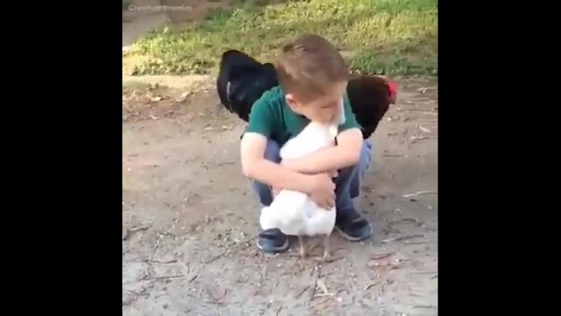 Мальчик обнимает курицу, петух ревнует