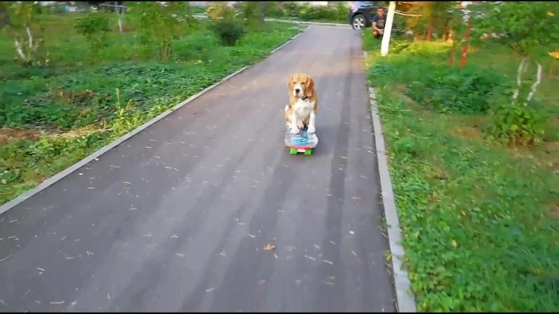 Бигль Бася на скейтборде 🙈 Наши первые занятия 😊