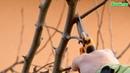 Детальная обрезка груши осенью на плодоношение. Правильная Обрезка плодовых