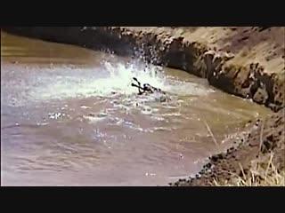 Нильский крокодил атакует антилопу гну