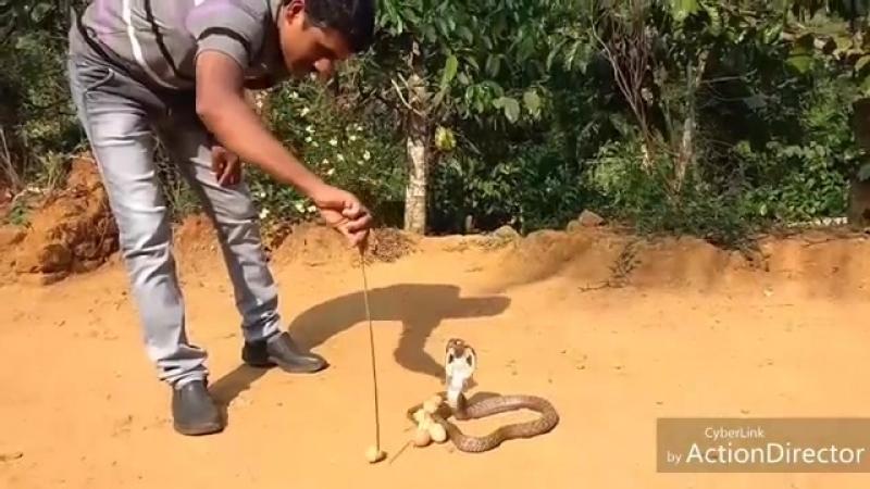 Ядовитая воровка не смогла утащить 8 яиц из курятника в Индии (Видео)