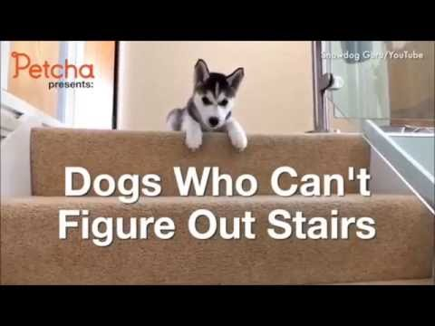 Dogs Who Can't Figure Out Stairs