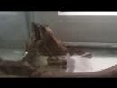 Сношение лягушек...