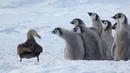 Малыши пингвины отбиваются от хищника