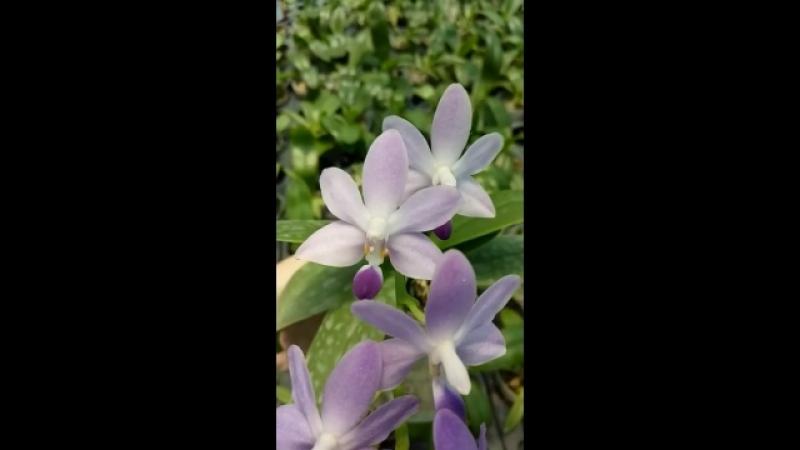Dtps.Purple Martin