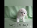 Хайленд фолд котик es21 33 03 Pretty Paul Brio Zaffiro