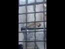 Зоо, авг18, леопард