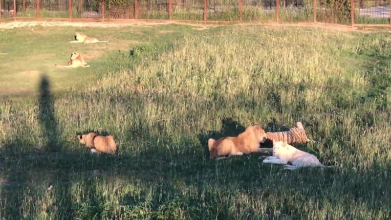 Общественности взять на контроль хромающего львенка лечить все равно некому и на мясо точно пустят