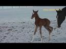 Alzam Shael Alvan Amora 4 day old akhal teke colt ахалтекинский жеребец