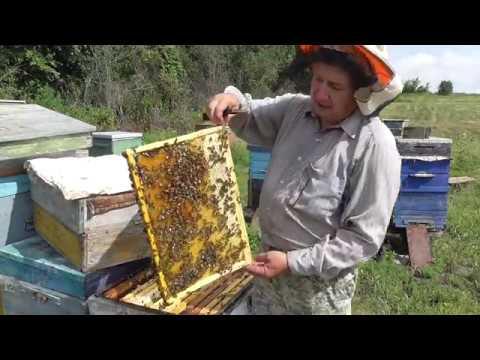 какие соты выберут пчёлы под расплод.