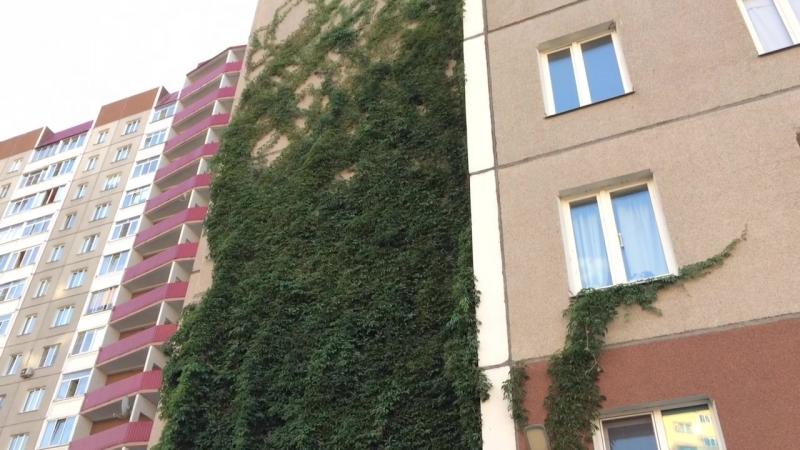 Девичий виноград на жилом доме в Cанкт-Петербурге