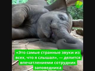 Заповедник в городе Чиангмай ( Таиланд) поделился видео с очаровательным слоненком, который очень любит спать.