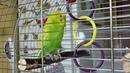 КАК ПОПУГАЙ ТОША ОТКАЗЫВАЕТСЯ КУПАТЬСЯ САМЫЙ ВЕСЕЛЫЙ ВОЛНИСТЫЙ ПОПУГАЙ зеленый попугайчик TV