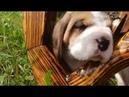 Щенки бигль, dogstyle.by