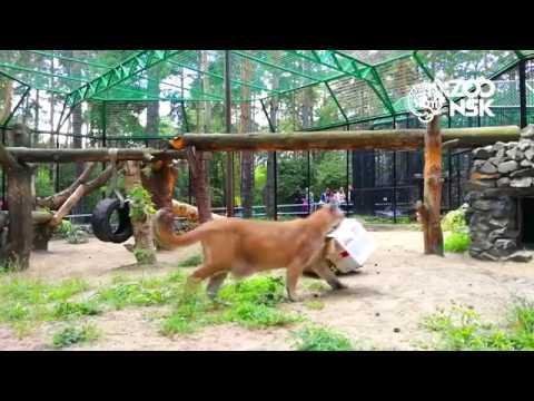 Пумы. Показательное кормление в Новосибирском Зоопарке имени Р.А. Шило