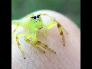 Female mopsus mormon (northern green jumping spider)