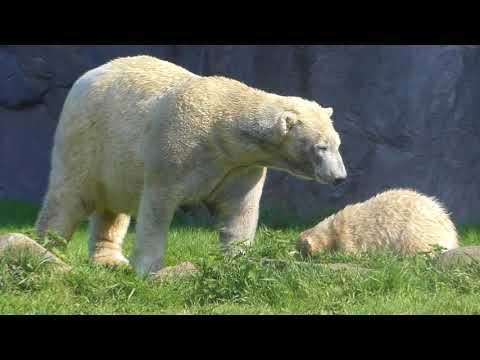 Eisbär Polar Bear Nanook Lara - ZOOM Gelsenkirchen I