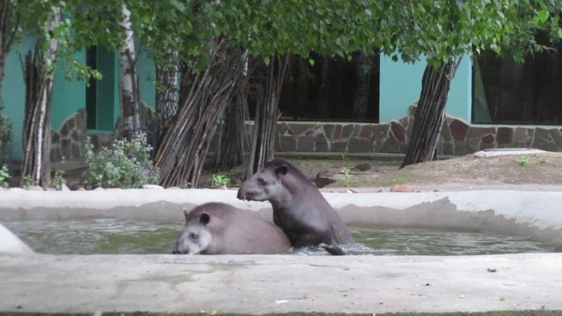 Тапиры плавают