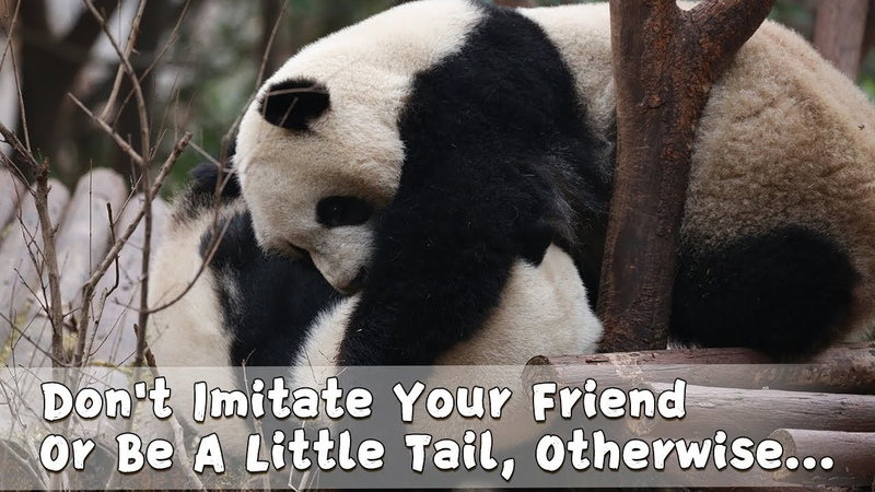 Dont Imitate Your Friend Or Be A Little Tail, Otherwise... | iPanda