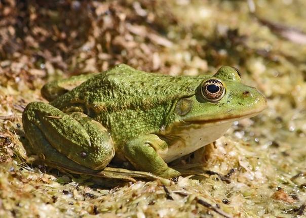 Разница между лягушкой и жабой Любите ли вы жаб и лягушек так, как их любят садоводы и огородники Да-да, несмотря на не самый приятный внешний вид, польза от них действительно огромная. Многие