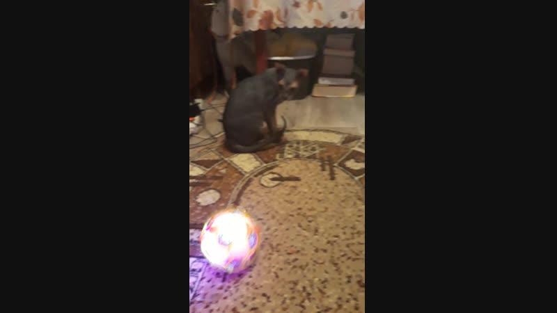 Котик боится музыкально шарика