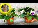 🌹🌹🌹 Глоксиния из семян полный цикл выращивания