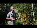 Умное хозяйство. Помидоры. 10 кг томатов с каждого куста. Как этого достичь. Реальный опыт.