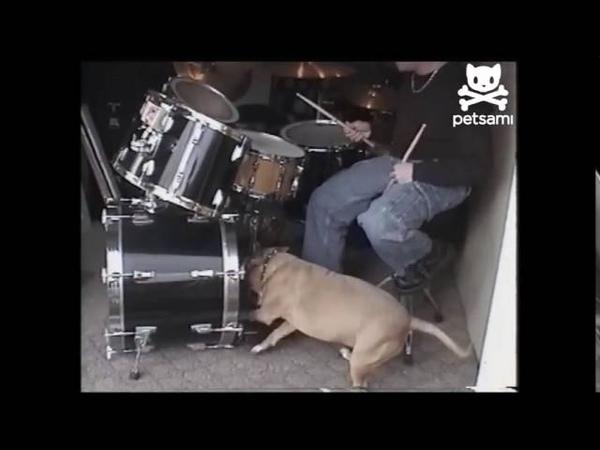 Drumming dog rocks out