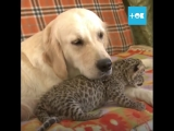 Леопард собаке друг