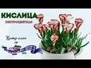 Цветы из мастики и полимерной глины Кислица пестроцветная Мастер класс