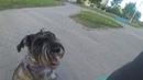 Непослушная собака проблема с котами Миттельшнауцер Тара и другие собаки