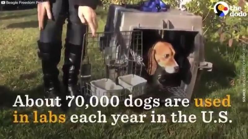 Собаки спасённые из испытательных лабораторий, ни разу не видевшие ни солнца, ни травы, ни любви 😥 😥 😥