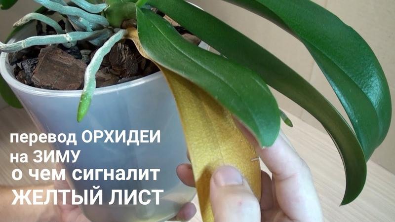 Перевод ОРХИДЕИ в ЗИМУ смена полива, о чем говорит ЖЕЛТЫЙ ЛИСТ фаленопсиса