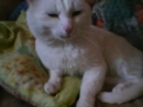 Кот Дикуша взбивает подушки