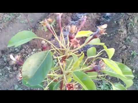 Весенний обзор развития семейных деревьев и штамбового персика