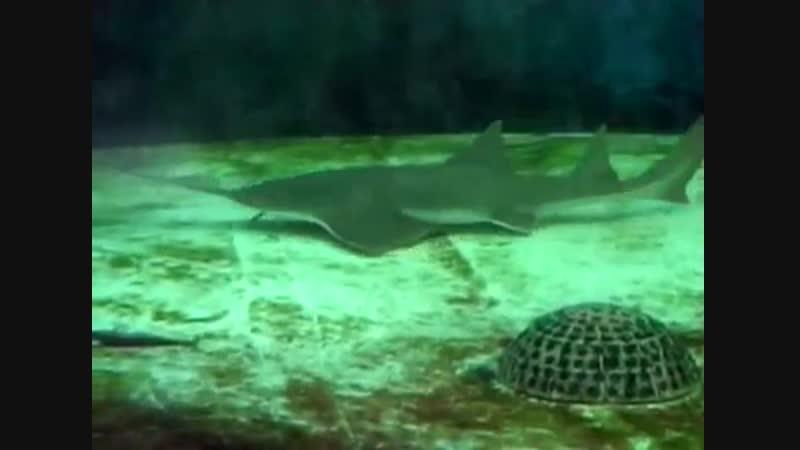 Рыба-пила охотится