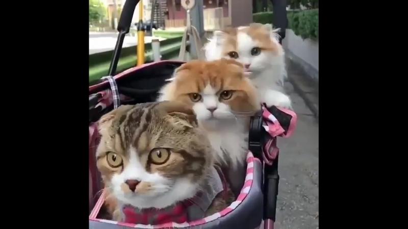 Прогулочка relaxed киса милота коты кошки котики кошечки котэкзот котэ heart eyes cat котэ 640 X 640 .mp4
