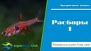 Расборы Патрика трехлинейная Торниери павиана краснохвостая чернополосая блестящая