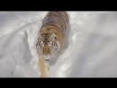 Съемка квадрокоптером тигров в заснеженной тайге. Красивый вид