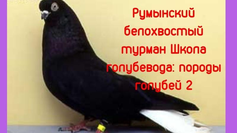 Румынский белохвостый турман Школа голубевода Породы ч 2