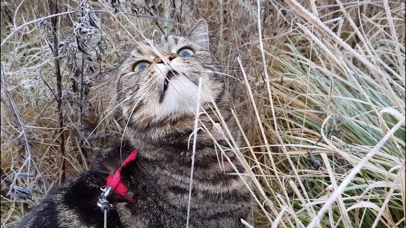 Кот балдеет от сена; Cat is going crazy about hay