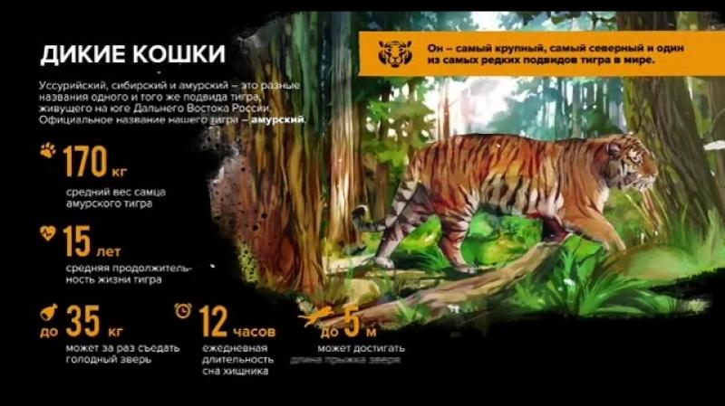 Тигр. Видео Центра Амурский тигр