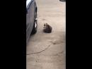 Беременная кошь со сломанной лапой