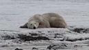 Истощенный полярный медведь приплыл к людям