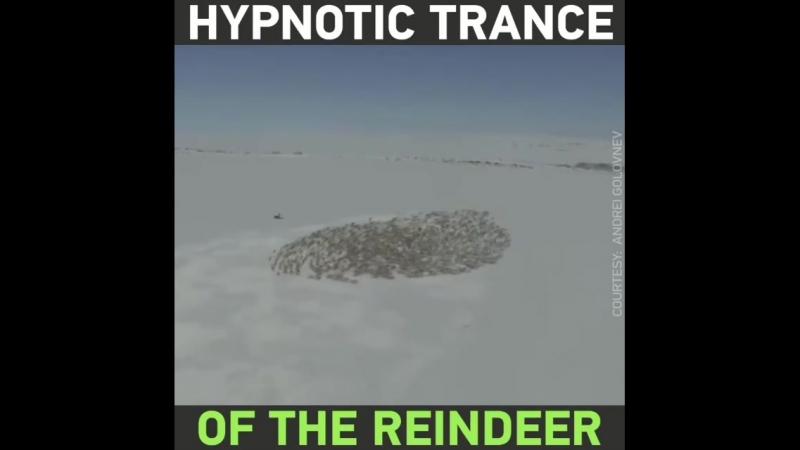 Аэрофотосъёмка оленей, кружащихся в ритмическом круге