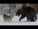 Волк против медведя Документальный фильм HD 2018