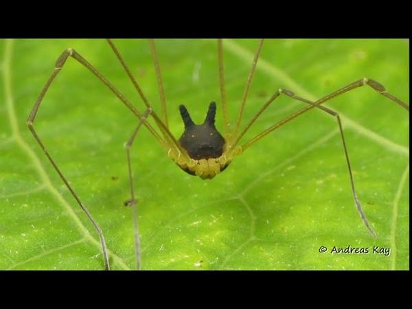 Учёные показали паука мутанта с собачьей головой