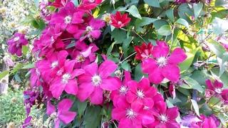 КЛЕМАТИСЫ. Цветы на даче. Clematis. Flowers in the garden.