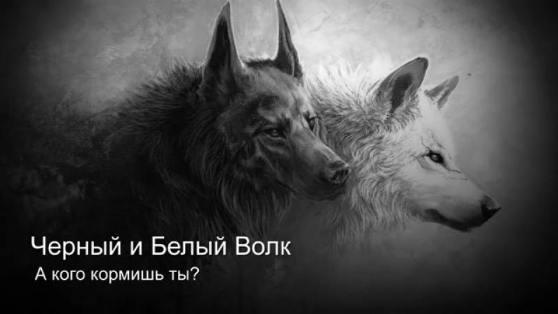Белый и чёрный волк.